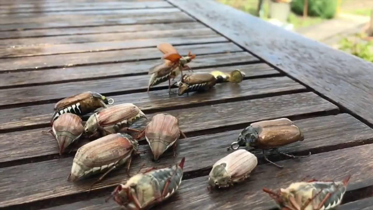 Firstfisher.ru – интернет-журнал о рыбалке и рыболовах. правильно насаживаем майского жука