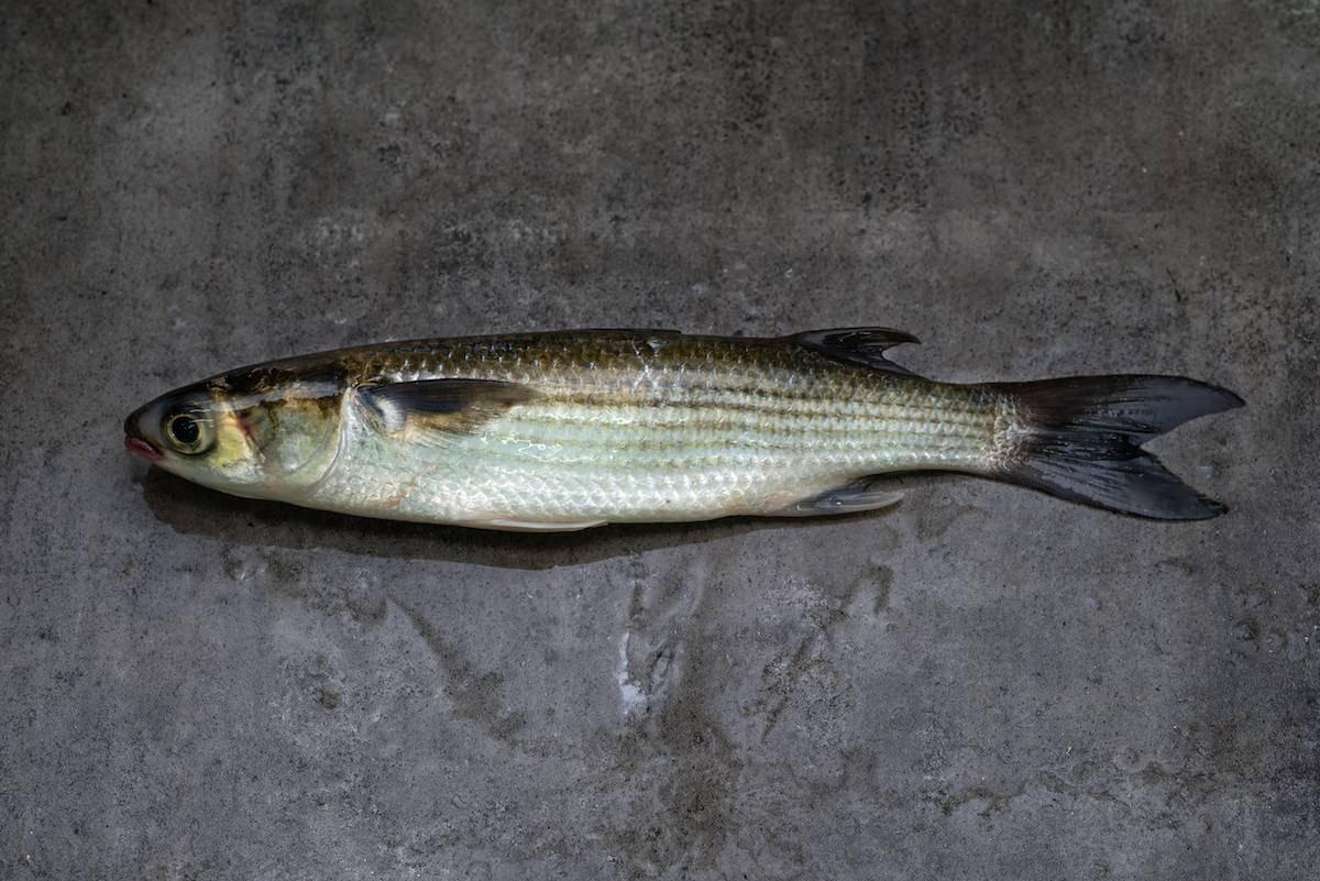Рыба кутум: места обитания и ловля