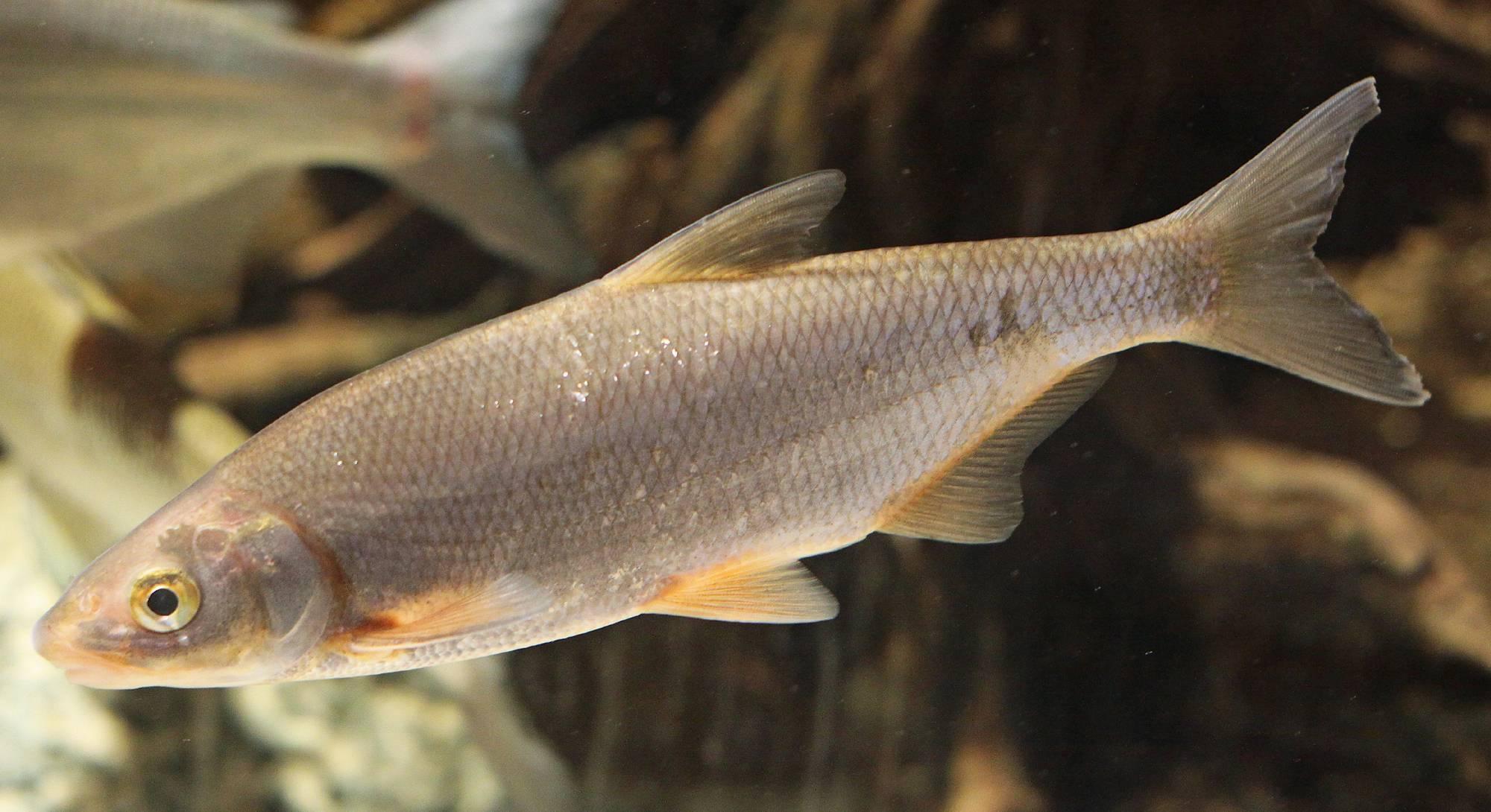 Рыба подуст: (места обитания и нерест, способы ловли подуста)