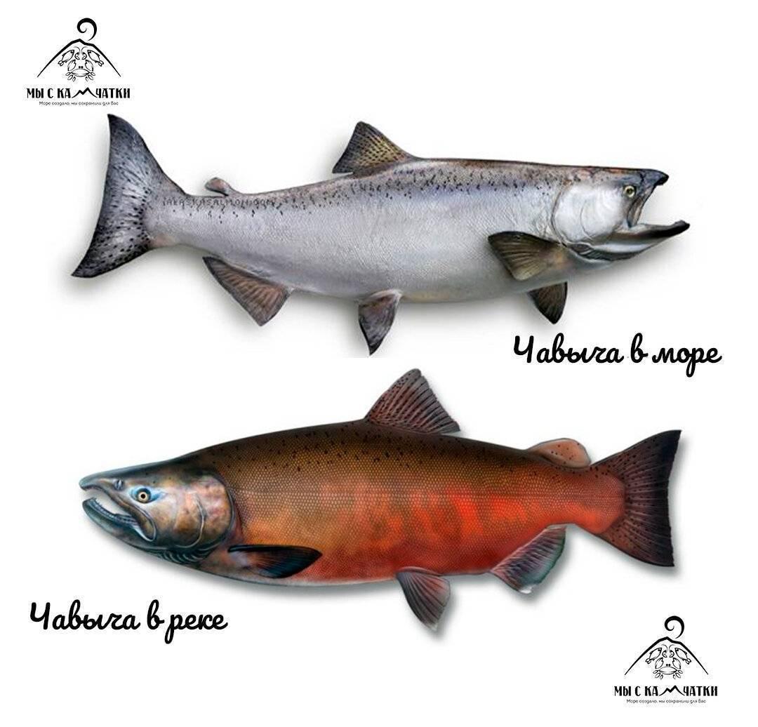 Рыба нерка польза и вред. нерка: полезные свойства рыбы, рецепты ее приготовления