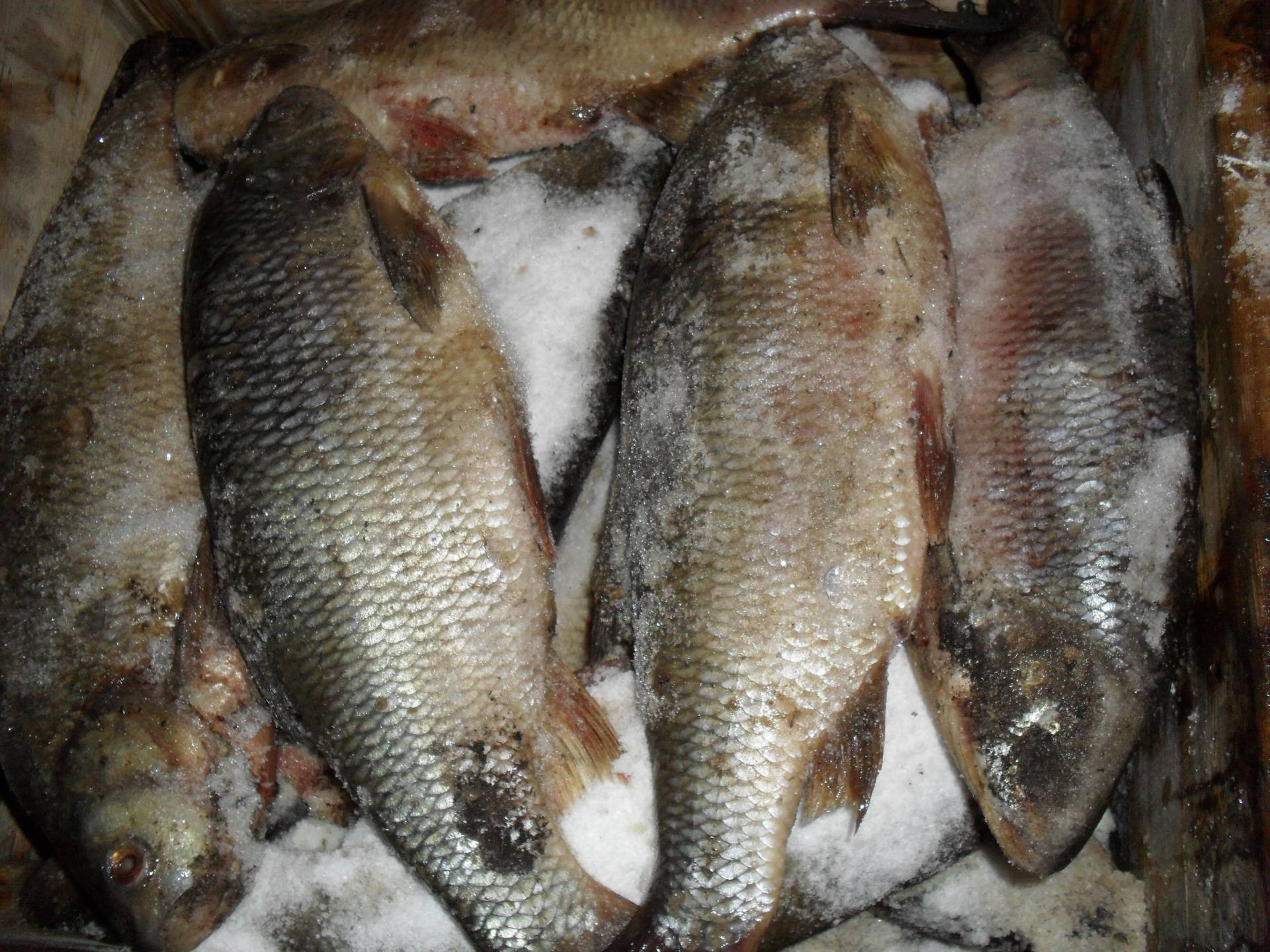 Таранка (таранька) / заготовка рыбы / tvcook: пошаговые рецепты с фото