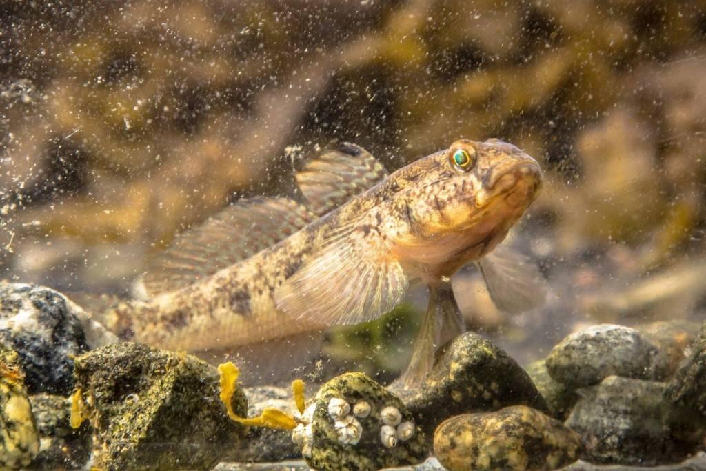 Необычная рыба ротан
