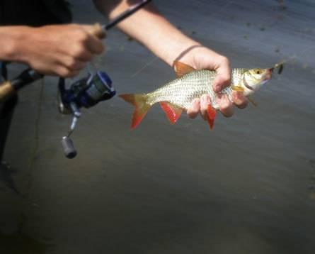 Ловля красноперки весной и летом: на поплавочную удочку, спиннинг