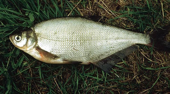 Рыба сопа фото описание
