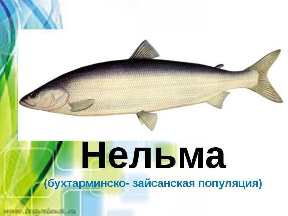 """Все что нужно знать о рыбе """"нельма"""""""