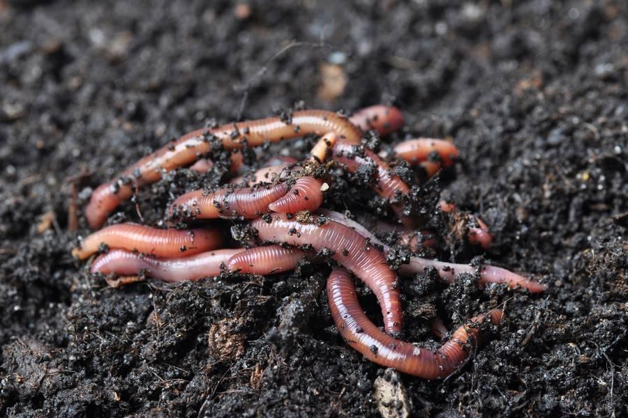 Как разводить червей для рыбалки начинающим?