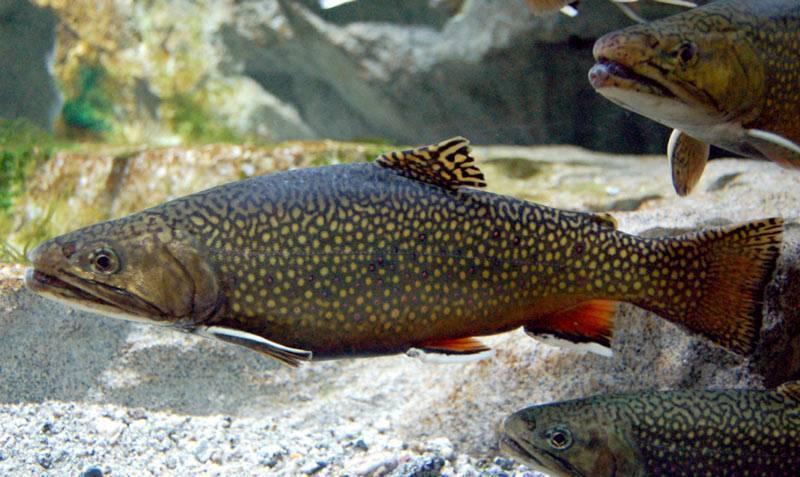 Рыба палака семейство фото