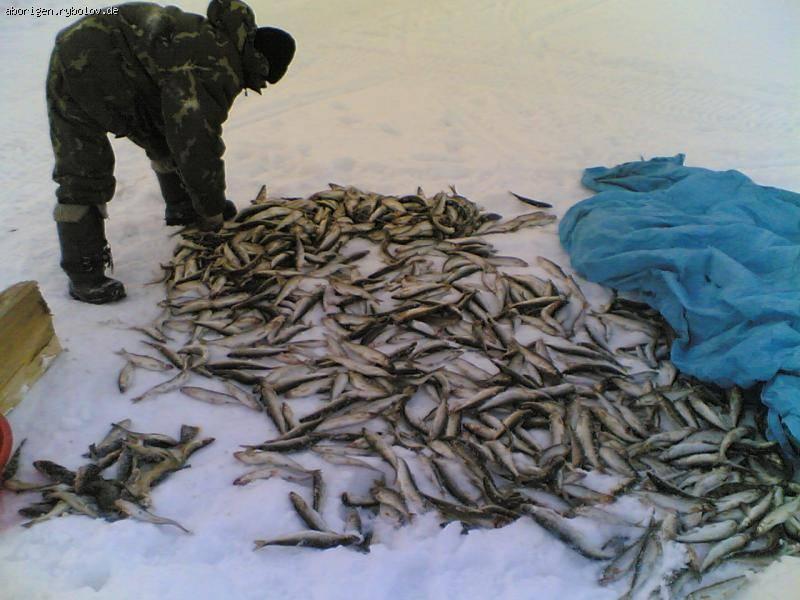 Корюшка рыба. описание, особенности, среда обитания и виды корюшки