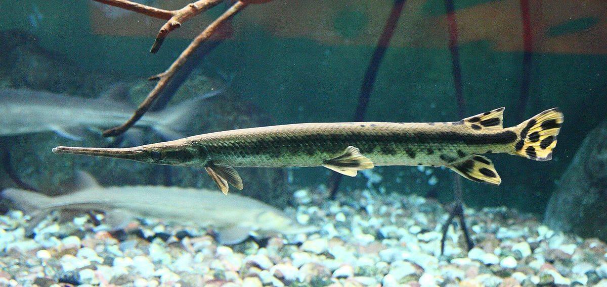 Панцирная щука в аквариуме: содержание и совместимость