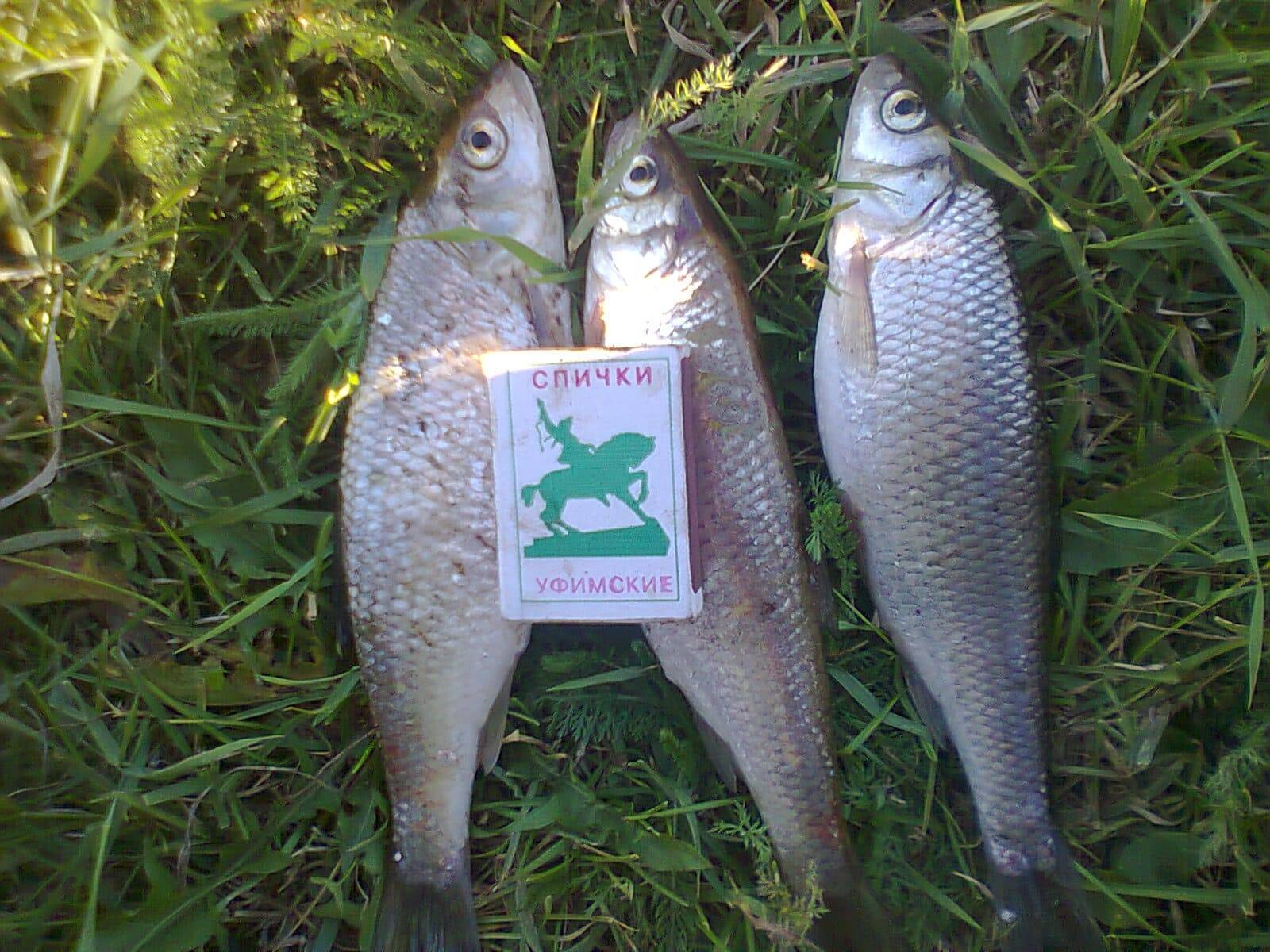 Жерех рыба – фото, описание, где водится и чем питается, как ловить и готовить шереспера | уклейка. энциклопедия ловли.