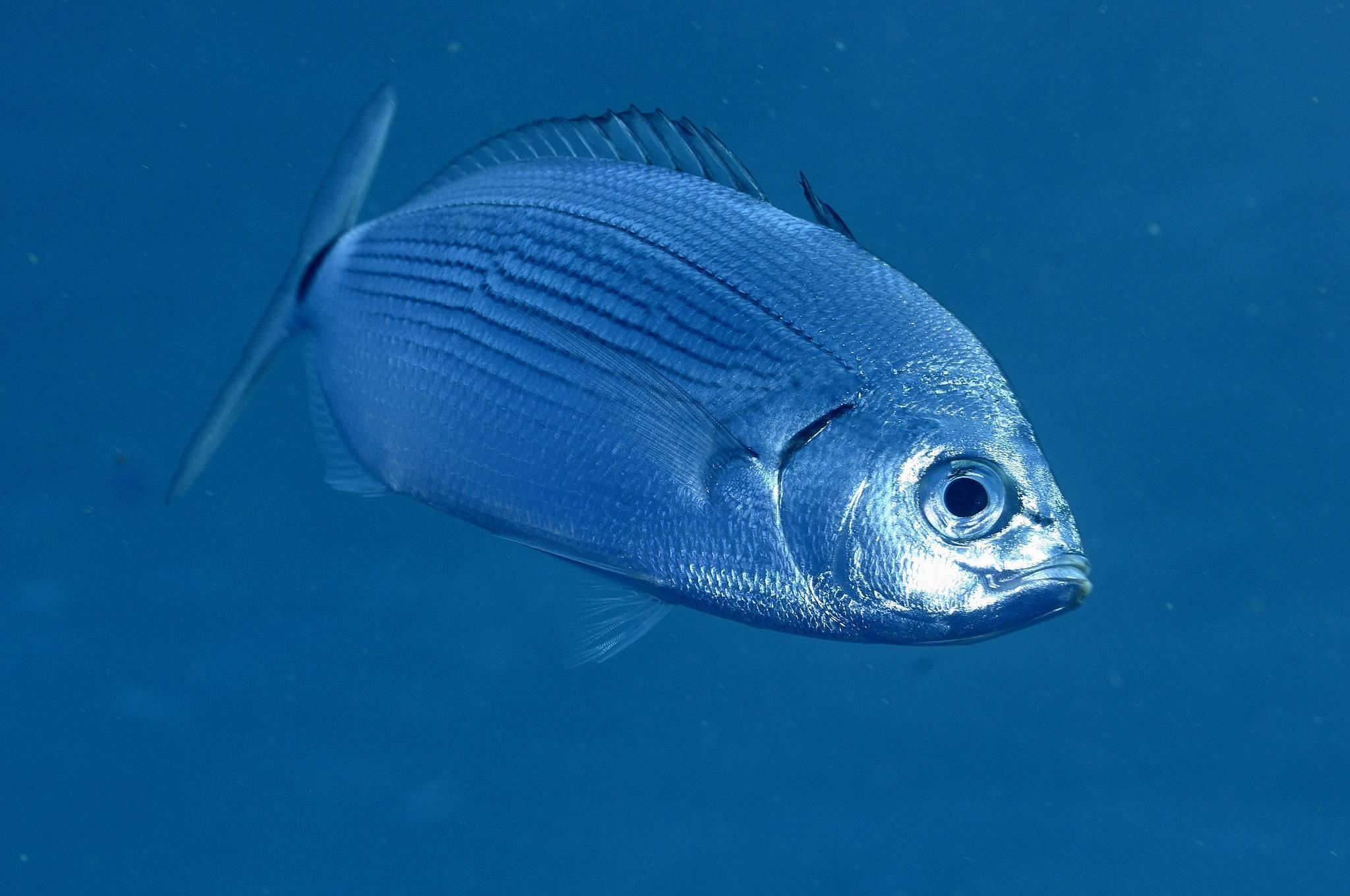 Жерех: описание и фото рыбы, виды, условия обитания, ловля и разведение
