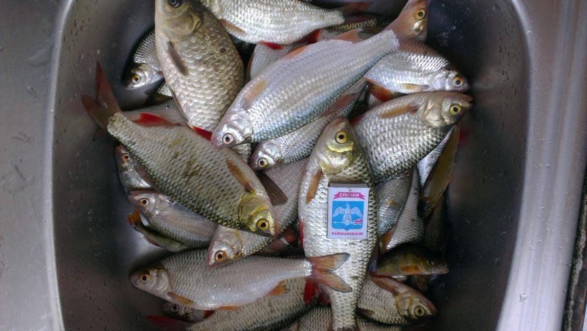 Ловля тарани весной - снасти и тактика поимки этой рыбы