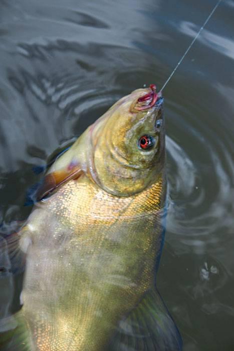 Ловля карася на реке: снасти, время, место, наживка - рыбколов!