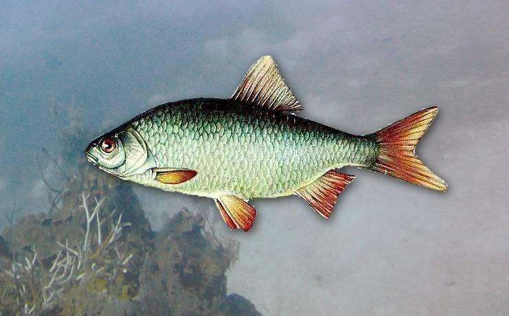 Рыба «Плотва дунайская» фото и описание
