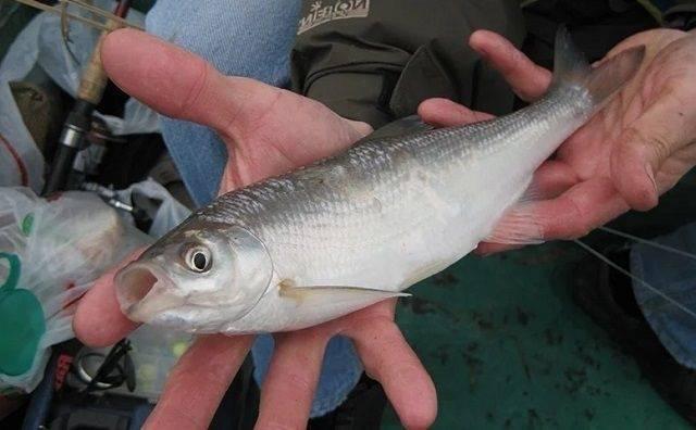 Рыба шамайка — фото и описание, поведение, нерест, занесена ли в красную книгу