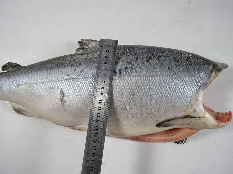 Где водится рыба кижуч, как можно ее приготовить и какова ее калорийность