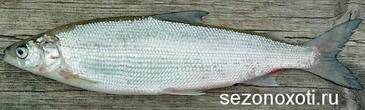 Рыба сырок фото википедия
