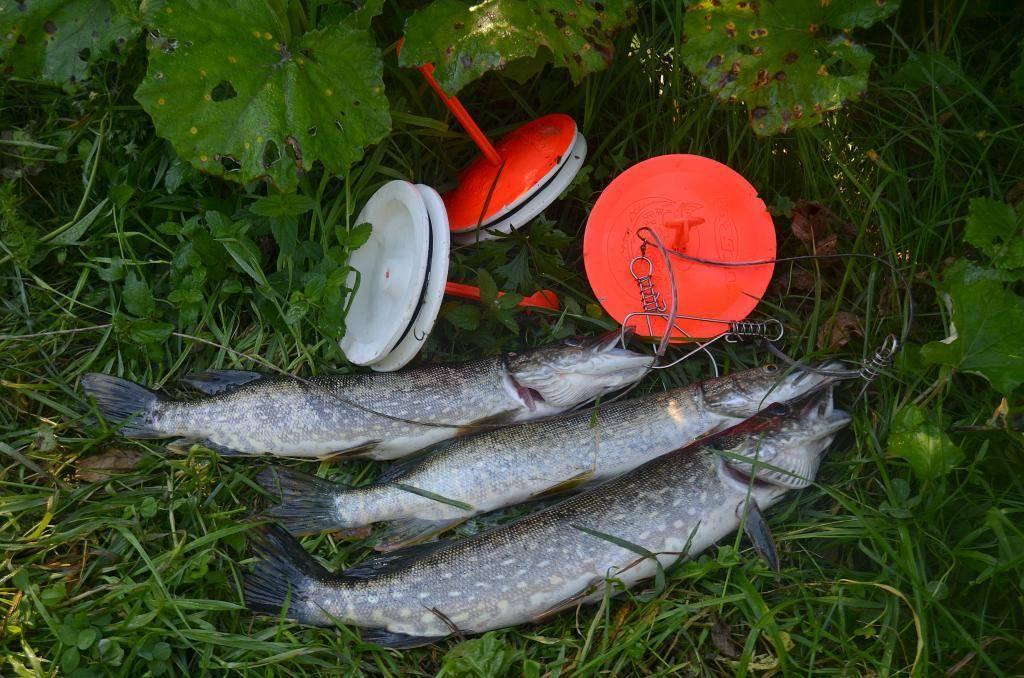 Особенности рыбалки на щуку кружками