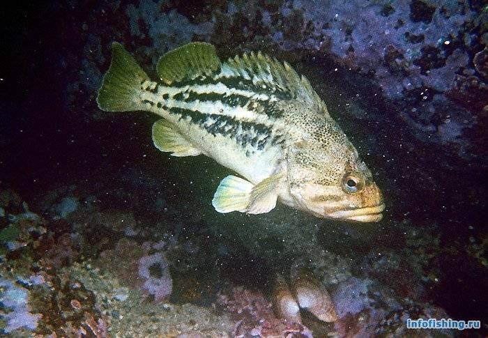 Морской окунь: польза и вред, фото, как приготовить