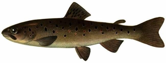 Рыба «Форель севанская» фото и описание