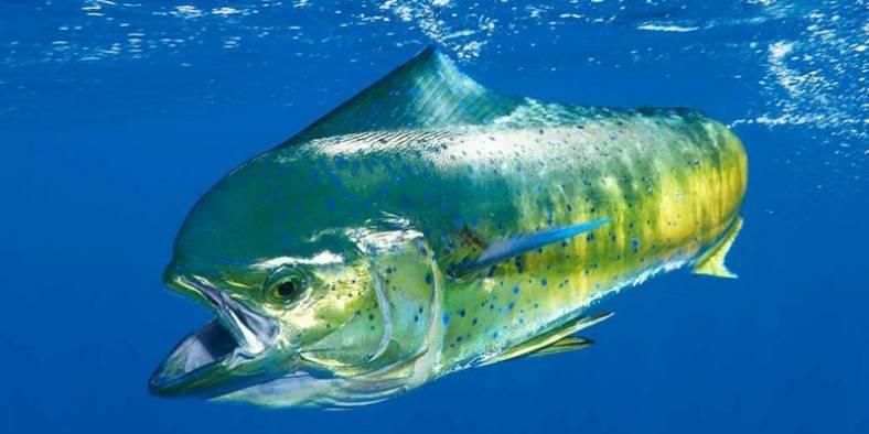 Конго аквариумная рыбка: содержание,совместимость,фото,разведение   аквариумные рыбки