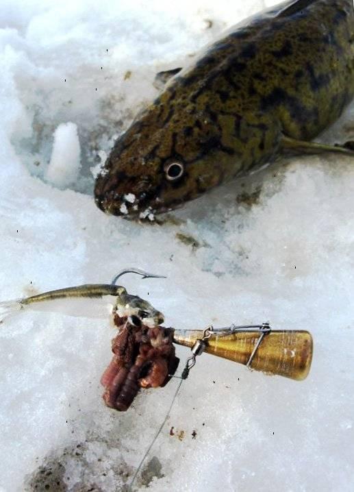 Способы ловли налима зимой и подготовка снастей способы ловли налима зимой и подготовка снастей