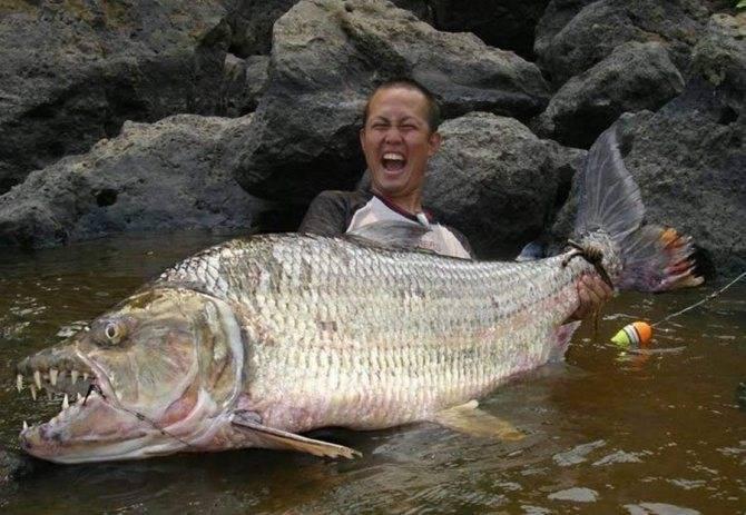 Описание рабы голиаф как вида, обитание и внешний вид рыбы