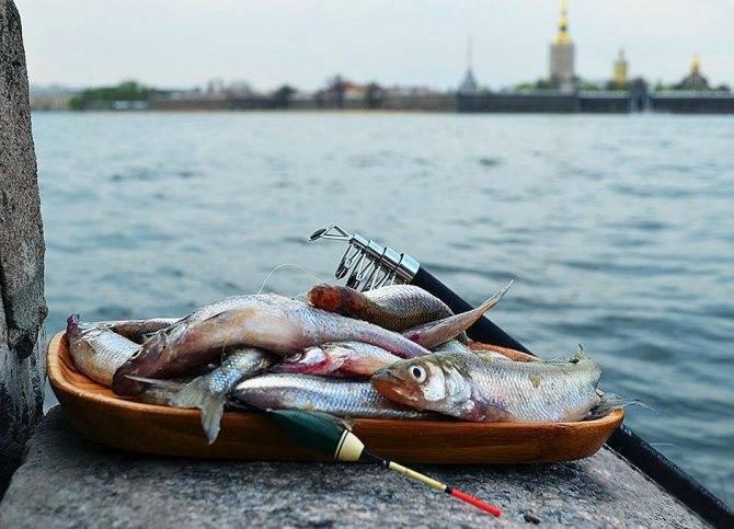 Где водится корюшка в россии: рыбалка в санкт-петербурге, описание