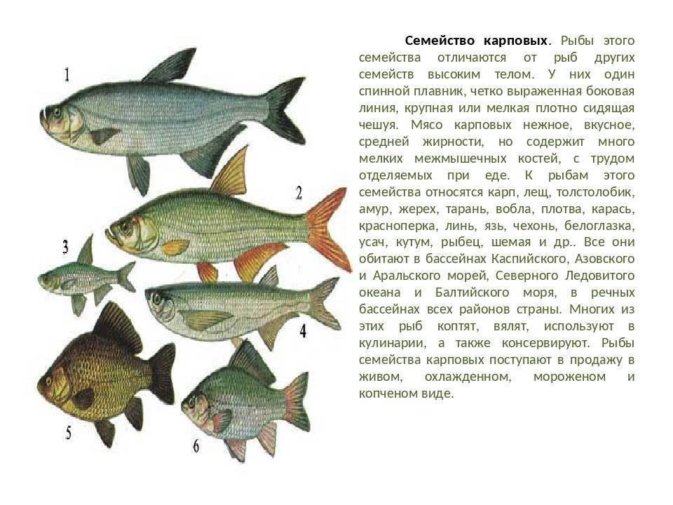 Отсер: где водиться и как выглядит? полезные и опасные свойства рыбы остер!