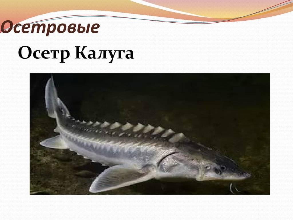 Калуга (рыба) – фото, описание, ареал, рацион, враги, популяция