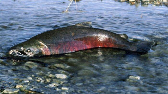 Красная рыба кижуч: места обитания, польза и вред