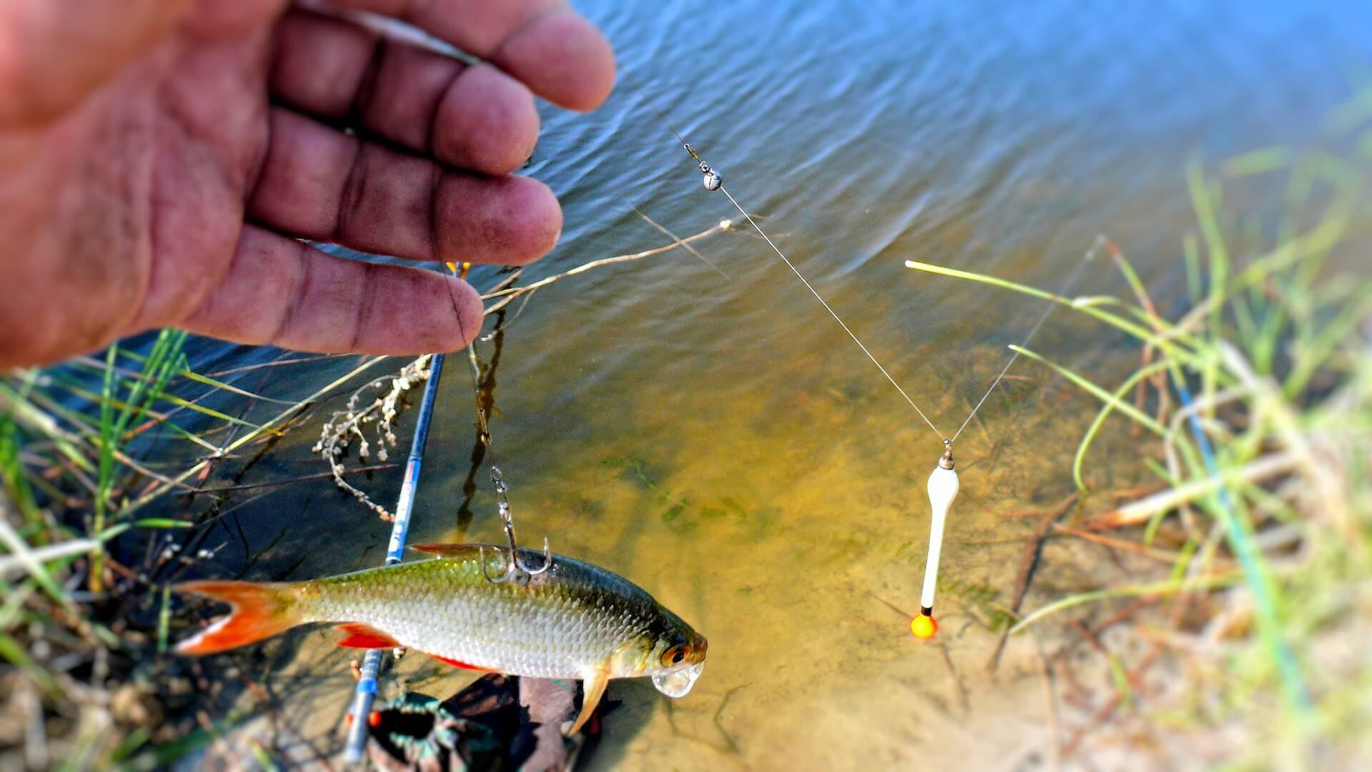 Ловля судака на живца - малька или тюльку: как насадить его на крючок и какую наживку лучше использовать осенью, а какую летом
