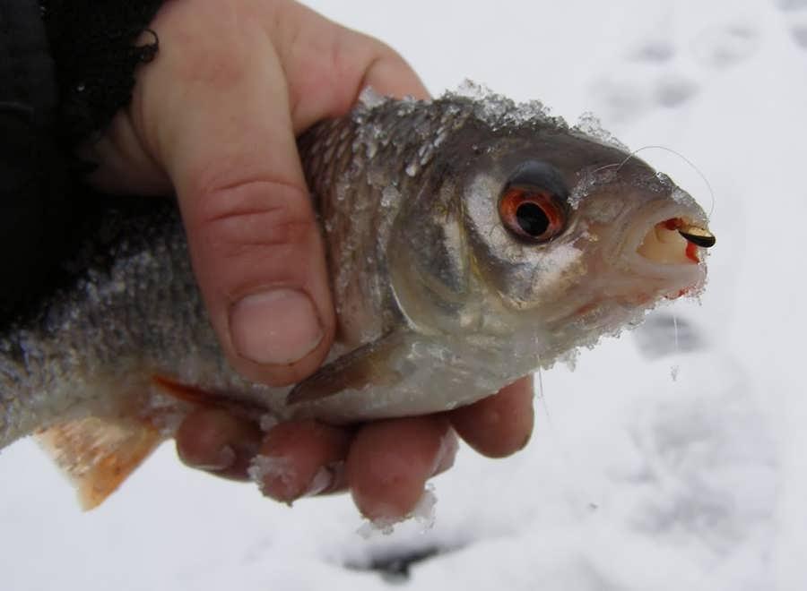 Ловля плотвы зимой: на реках и водоёмах