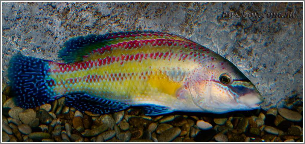Рыба губан: описание, среда обитания и фото | zdavnews.ru | zdavnews.ru