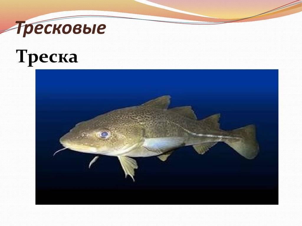 Тресковые породы рыб список