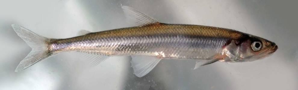 Корюшка или корюха: что за рыба, какая и где водится и обитает, время нереста икры корюшки