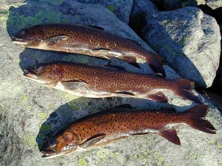 Рыба снеток