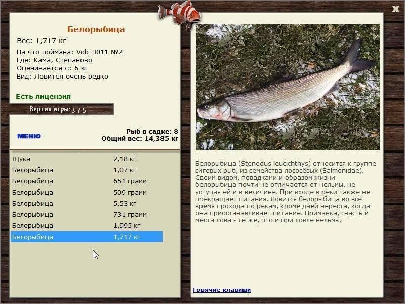 Рыба нельма или белорыбица: биологические характеристики, места ловли