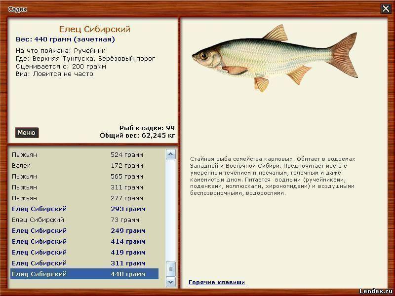 Елец (рыба): описание и фото. зимняя рыбалка на ельца :: syl.ru