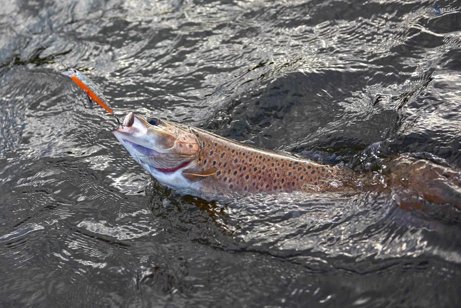Рыба «Лосось дунайский» фото и описание