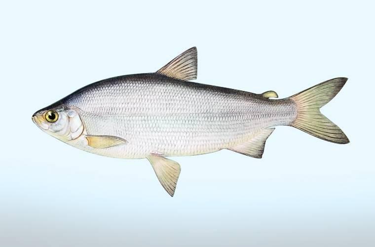 Список рыб: сиговые виды муксун, омуль и ряпушка