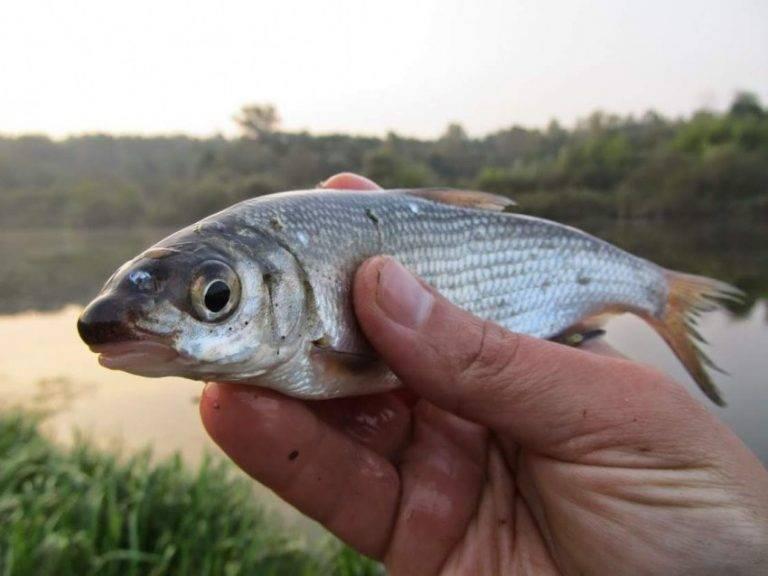 Подуст — энциклопедия рыб
