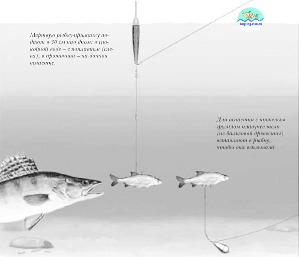 Ловля судака на живца: тонкости процесса