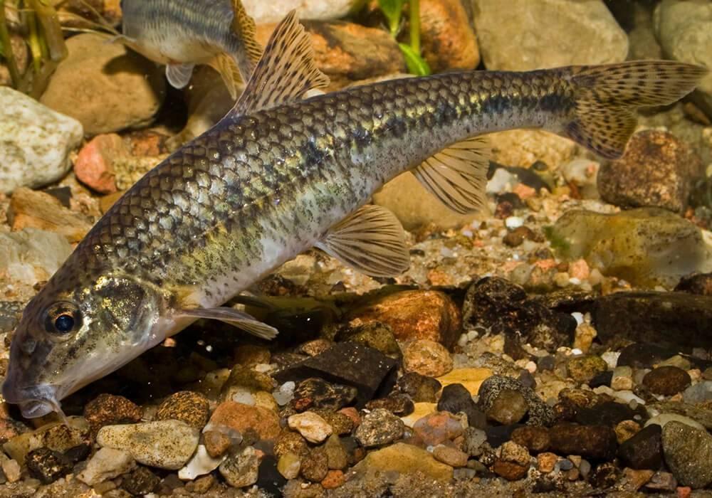 Пескарь: рыба на что клюет, как поймать и кто такой, описание