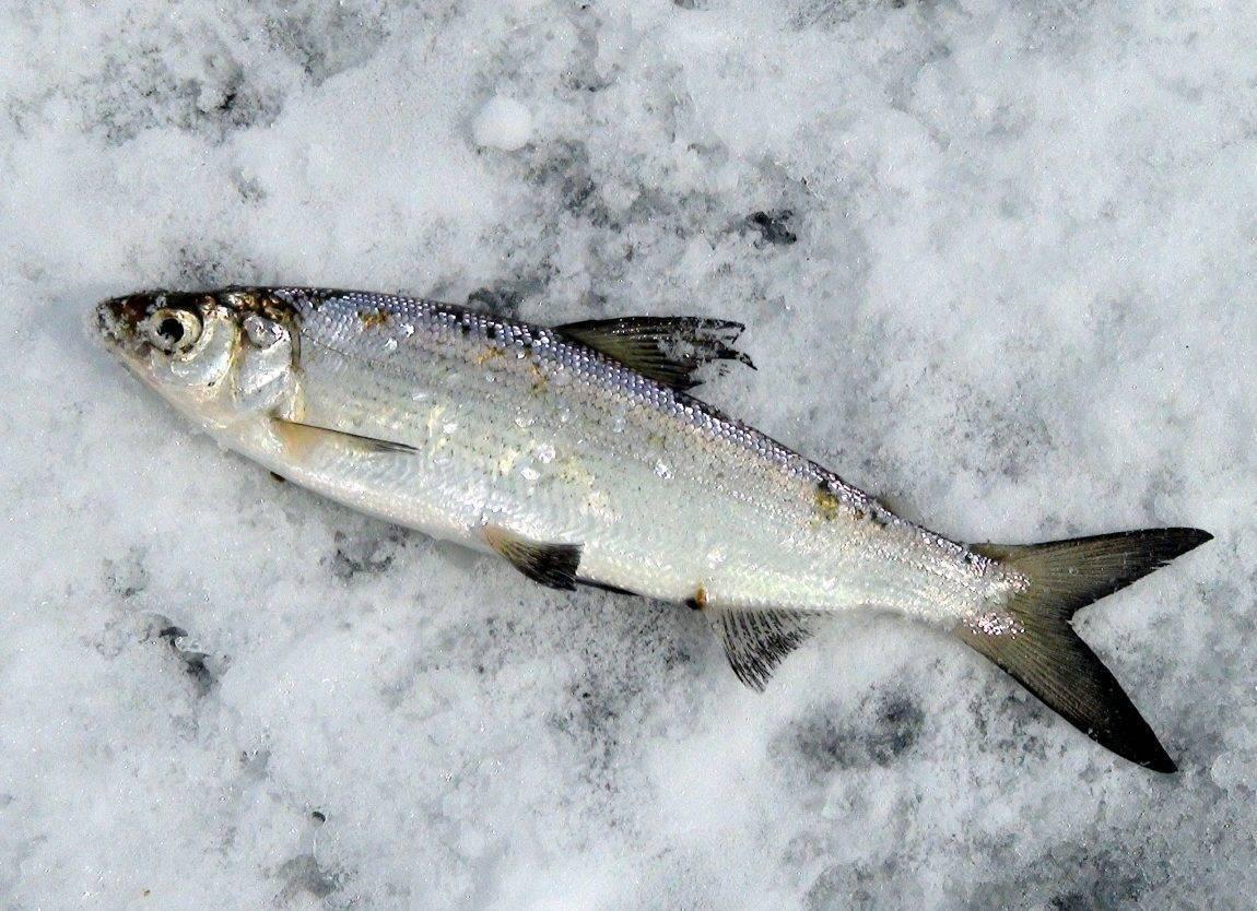 Пелядь рыба: хозяйственное значение и технология разведения