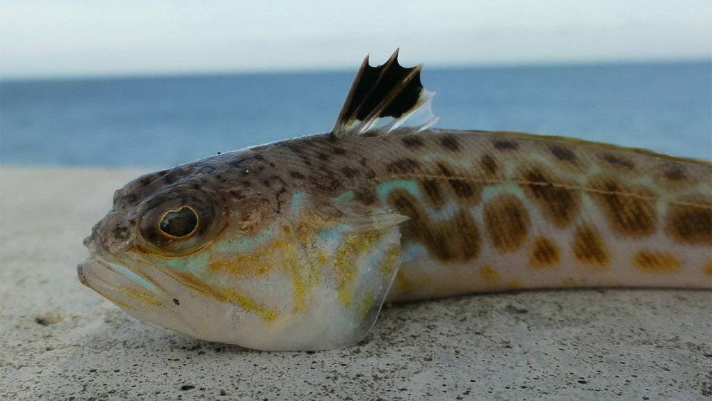 Топ-16 смертоносных и ядовитых рыб на земле — природа мира