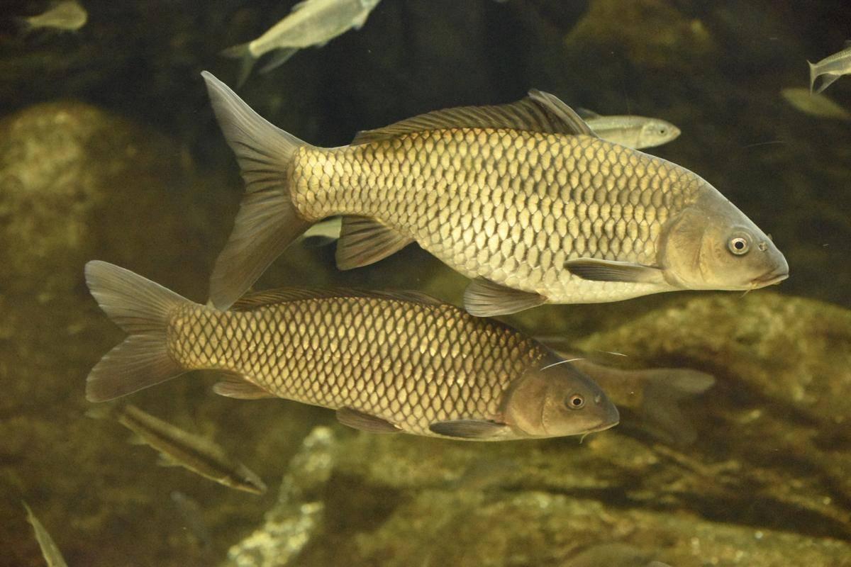 Рыба карп — описание, основные виды, полезные свойства, места обитания, отлов + 78 фото