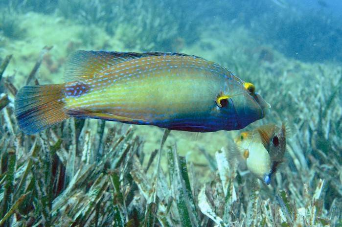 Рыба губан: описание, среда обитания и фото | zdavnews.ru