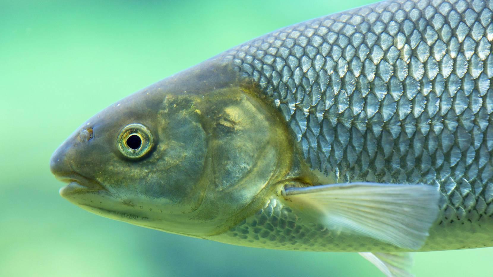 Вырезуб — что это за рыба и где водится?