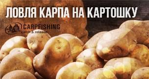 Картофель на карпа: как приготовить и ловить рыбу